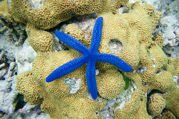 Blue star fish on reef (Linckea Laevigata) Linckea Laevigata starfish stock pictures, royalty-free photos & images