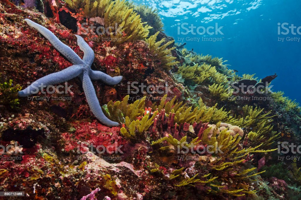 Blue starfish in the reef, Blauer Seestern im Korallenriff stock photo