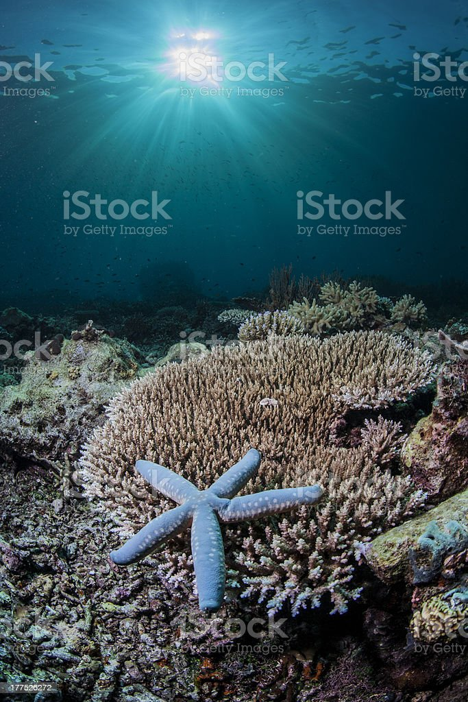 blue starfish resting on hard coral royalty-free stock photo