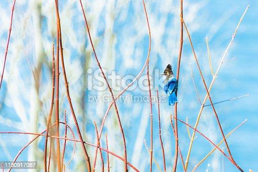 Blue Stellers Jay Bird