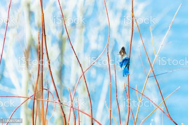 Photo of Blue Stellers Jay Bird