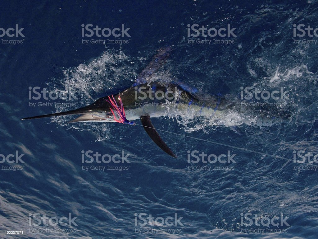 Blue Striped Marlin Caught on Pink Lure stock photo