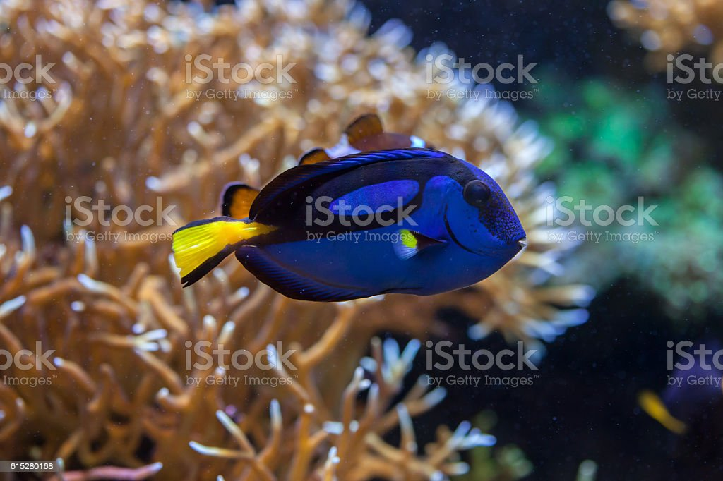 Blue surgeonfish (Paracanthurus hepatus). stock photo