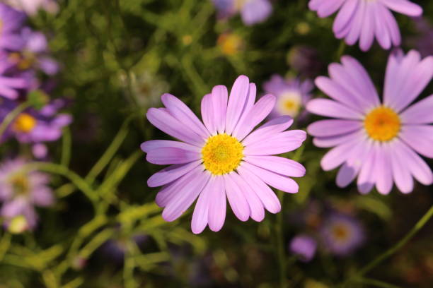 Blue Swan River Daisy  flower - Brachyscome Iberidifolia stock photo