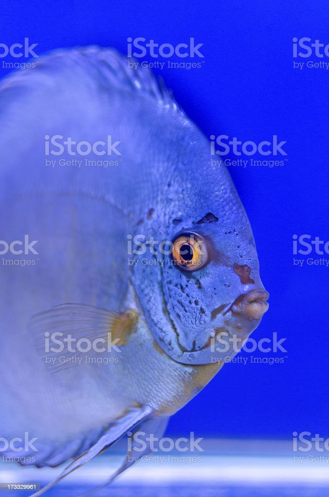Blue Symphysodon Discus Look at me royalty-free stock photo