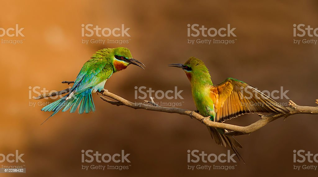 Blue Tailed Bee Eater stock photo