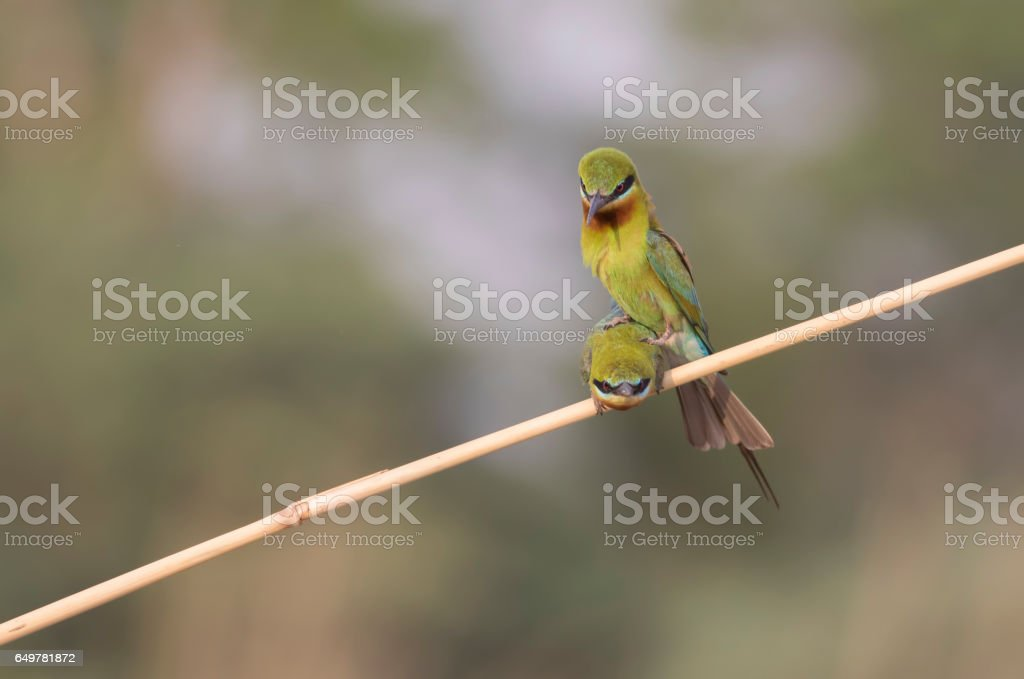 Blue tailed Bee eater matting moment