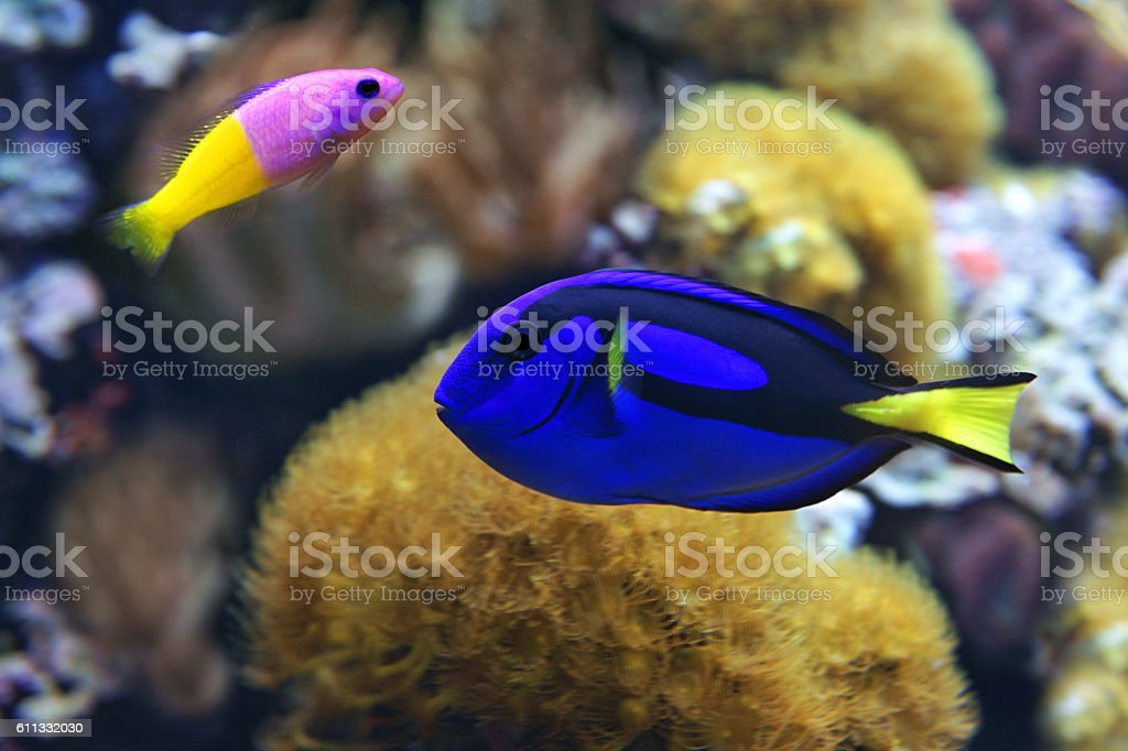 Blue tang (Paracanthurus hepatus), and Bicolor Dottyback (Pictichromis paccagnella) stock photo