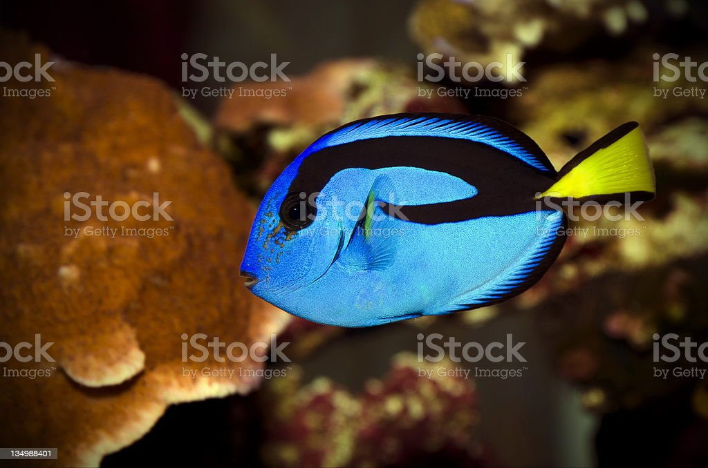 blue tang fish stock photo