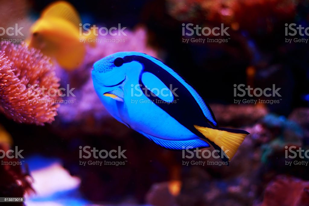 Blue Tang Fish Tropical Fish stock photo
