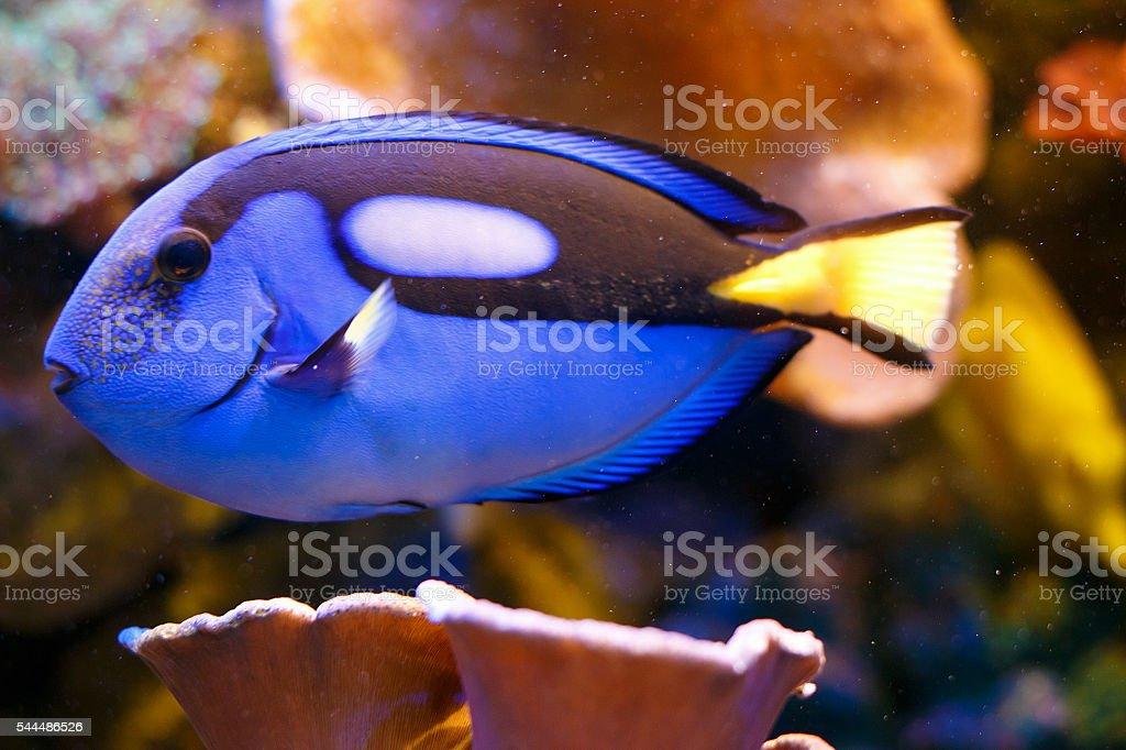 Blue Tang Fish Tropical Fish stock photo