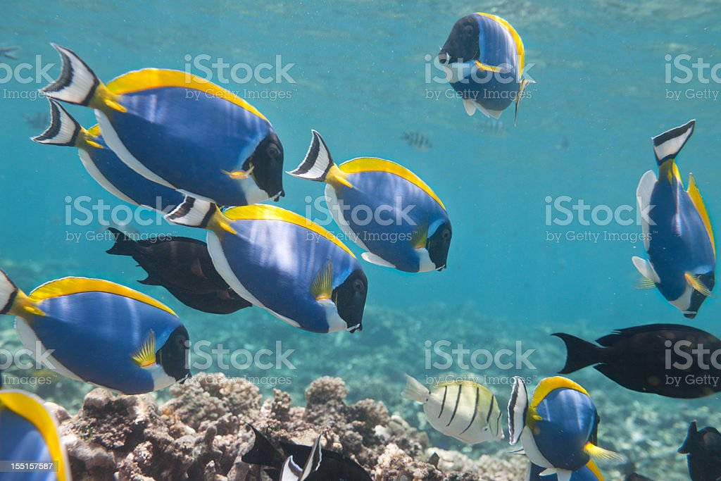 Blue Tang, Palette Surgeonfish (Paracanthurus hepatus) School stock photo