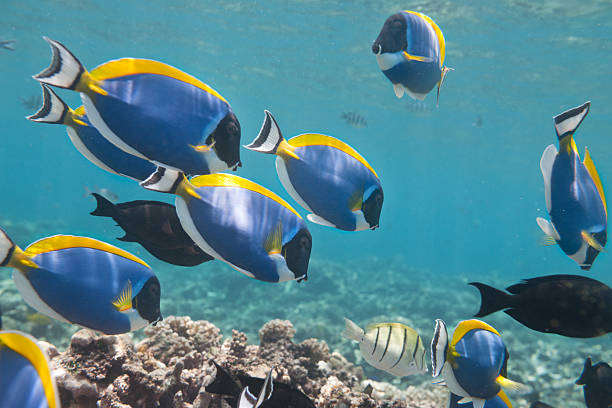blue tang, palette surgeonfish (paracanthurus hepatus) school - great barrier reef stock pictures, royalty-free photos & images