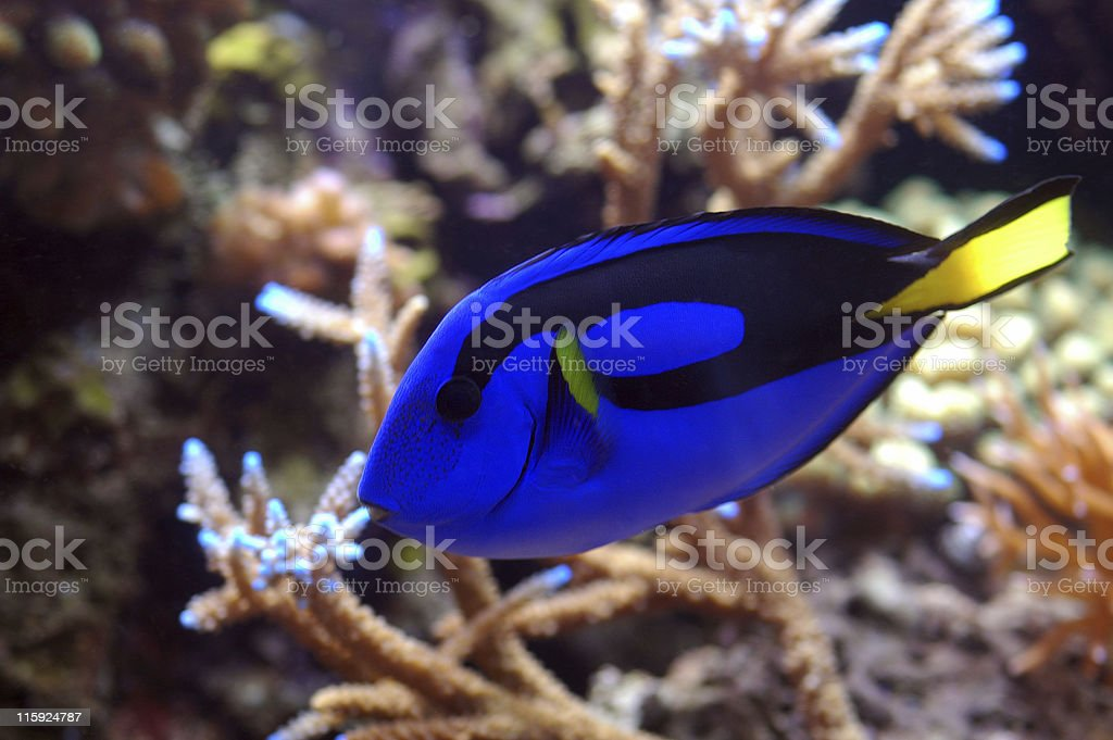 blue tang, Paracanthursus hepatus stock photo