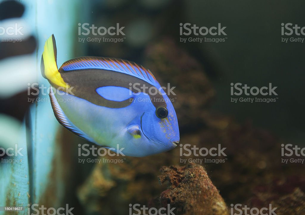 Blue Tang ( Surgeonfish ) stock photo