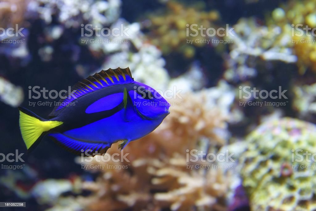 Blue tang (Paracanthurus hepatus) stock photo