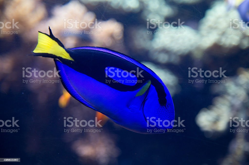 blue tang stock photo