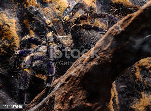 Blue tarantula crawling P. Metallica