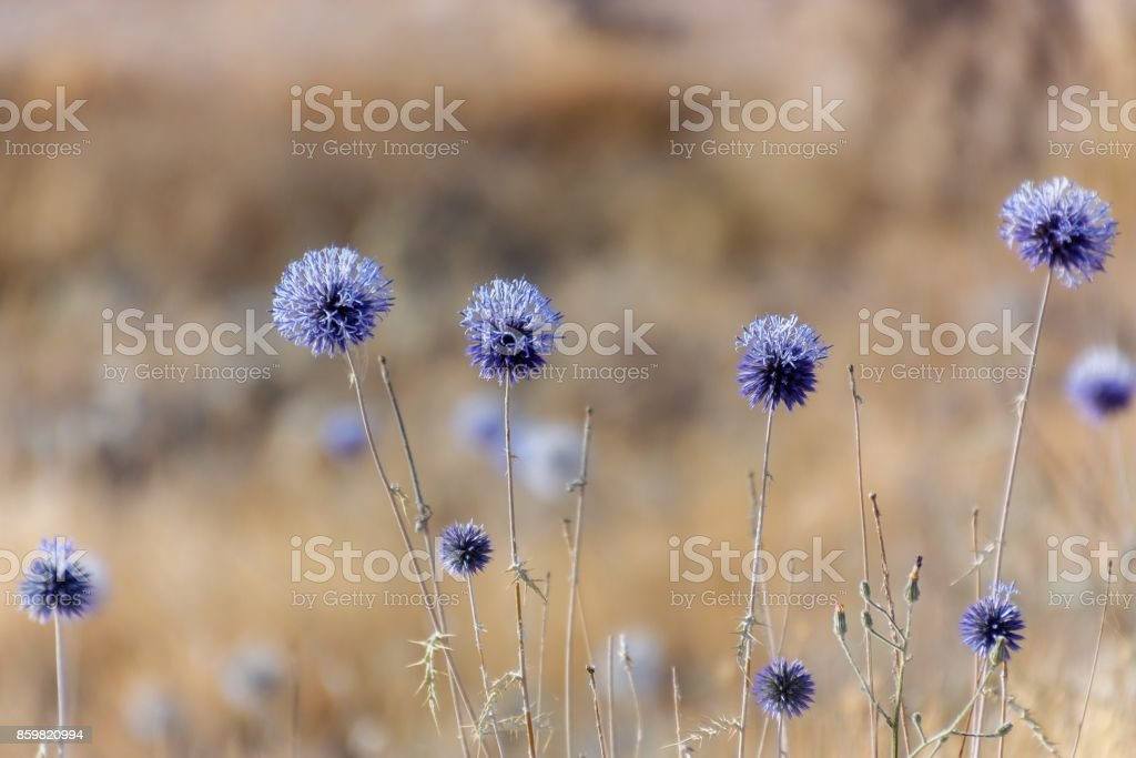 blue thistle on a meadow stock photo