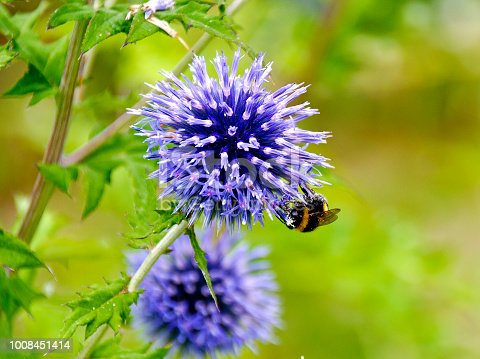 blossom of a blue thistle with a bumble-bee
