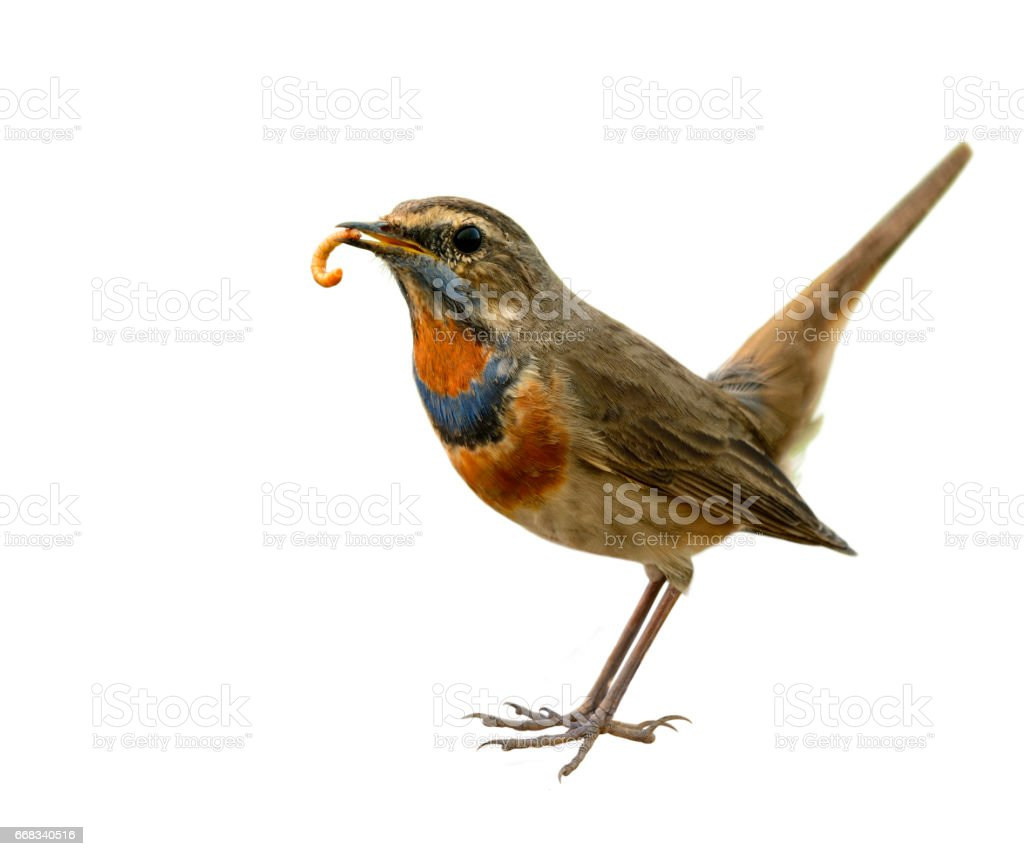 Blue throat (Luscinia svecica) Beautiful chubby brown bird stock photo