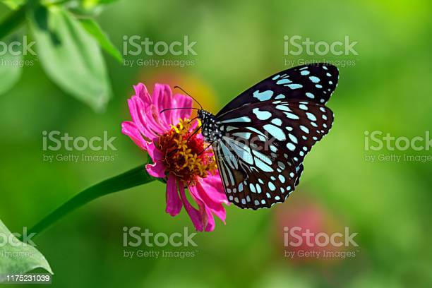 Photo of Blue tiger butterfly on a pink zinnia flower with green background