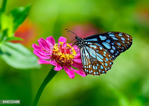 istock Blue tiger butterfly on a pink zinnia flower with green background 849220498
