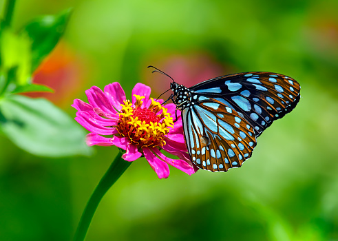 Blue tiger butterfly on a pink zinnia flower with green background