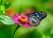 Blue tiger butterfly or Danaid Tirumala limniace on a pink zinnia flower with green blurred background.