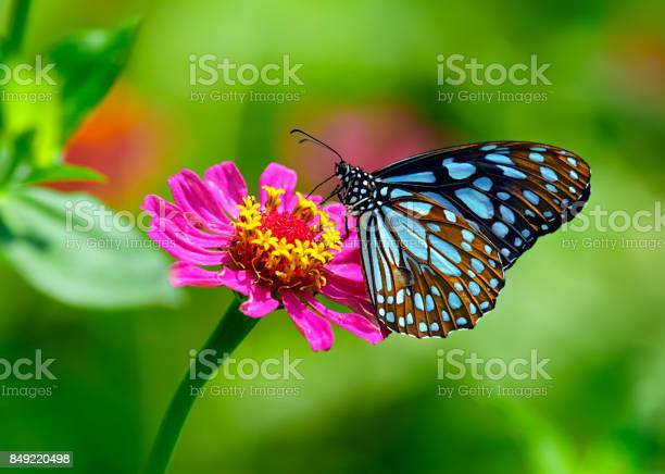 Blue tiger butterfly on a pink zinnia flower with green background picture id849220498?b=1&k=6&m=849220498&s=612x612&h=ei2i6dx3rcrmfqpideodwttplboyfoxnwqbcphcdrya=