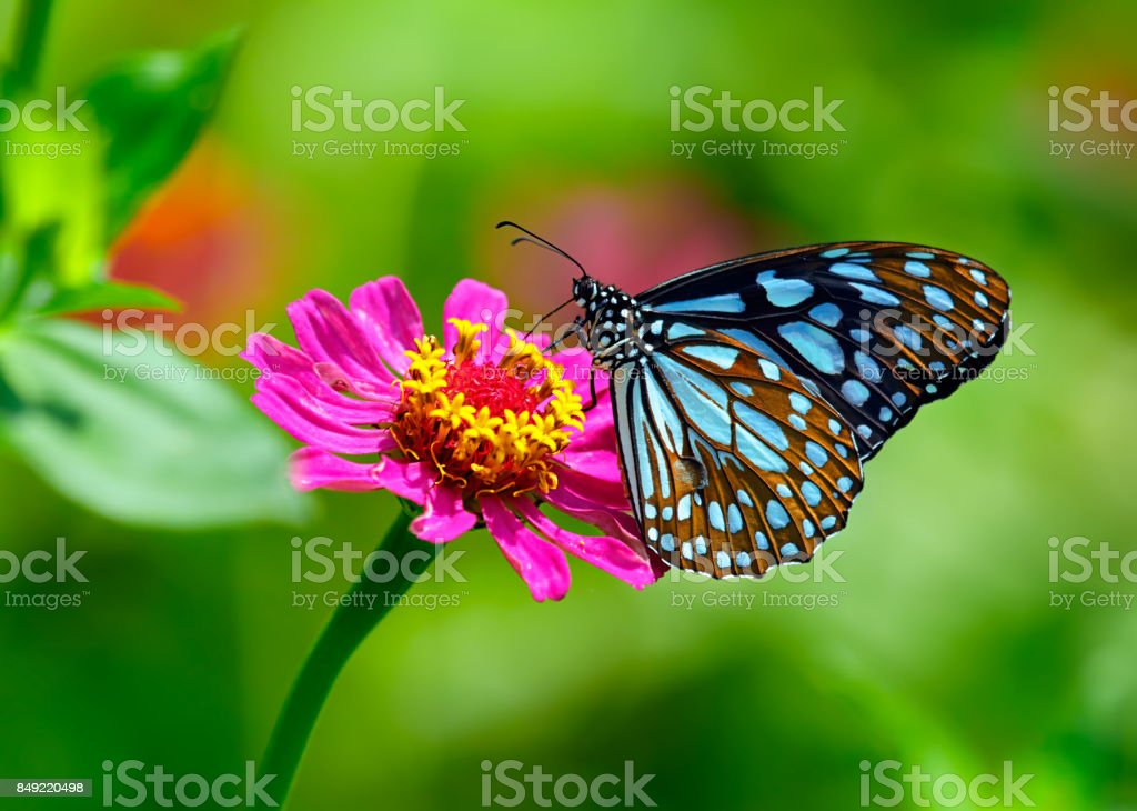 Blue tiger butterfly on a pink zinnia flower with green background - fotografia de stock