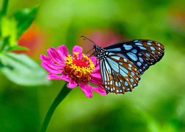 blaue tiger schmetterling auf einer rosa zinnia blume mit grünem hintergrund - schmetterling stock-fotos und bilder