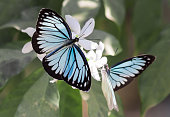istock Blue tiger butterfly (tirumala limniace) on a white flower 1331742139