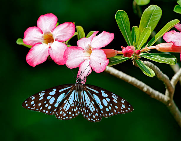 Blue tiger butterfly on Adenium pink flowers with dark green background Blue tiger butterfly or Danaid Tirumala limniace on pink flowers of Adenium Obesum or Sabi star or desert rose or mock azalea with green leaves and dark green blurred background. corn lilly stock pictures, royalty-free photos & images