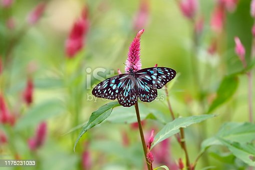 Blue tiger butterfly or Danaid Tirumala limniace among pink cockscomb flowers or Celosia with green blurred background