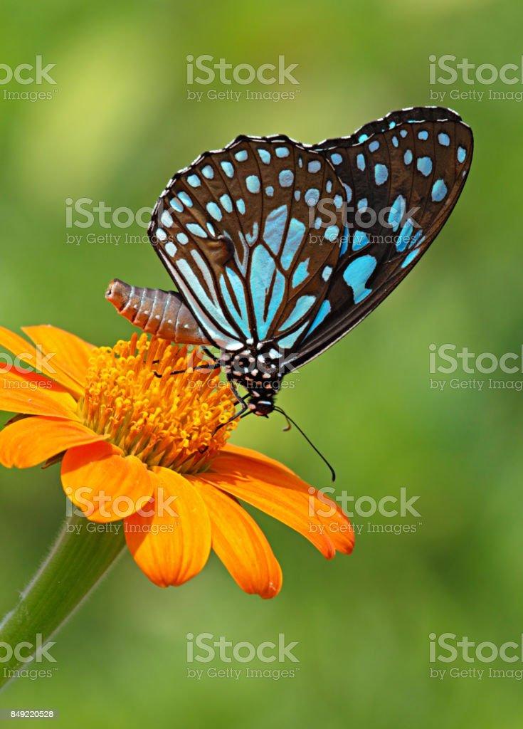 Tigre azul borboleta ou uma flor de laranjeira - foto de acervo