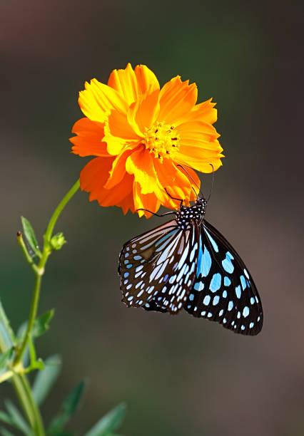 Blue tiger butterfly or tirumala limniace on an orange cosmos flower picture id849220518?b=1&k=6&m=849220518&s=612x612&w=0&h=mknrnvdn0q8zn4qgxqg9v728p mq7dmxifm2jhud7h4=