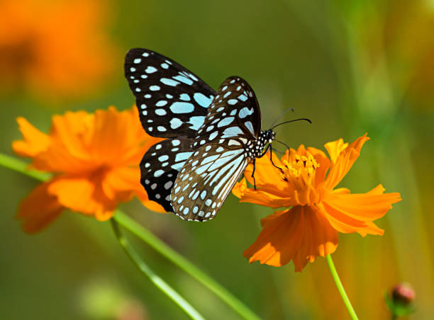 Blue tiger butterfly or tirumala limniace on an orange flower picture id849220486?b=1&k=6&m=849220486&s=612x612&w=0&h=7e 9ewtr1vt9ntzny5ihpocln8yqet3wivglpf9qf u=