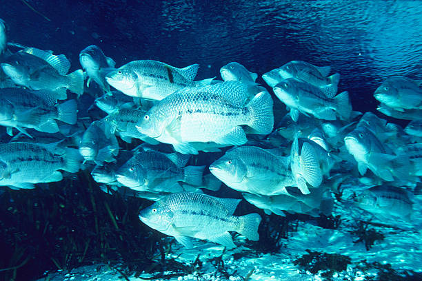 blue tilapia 27 - introduced species stock pictures, royalty-free photos & images