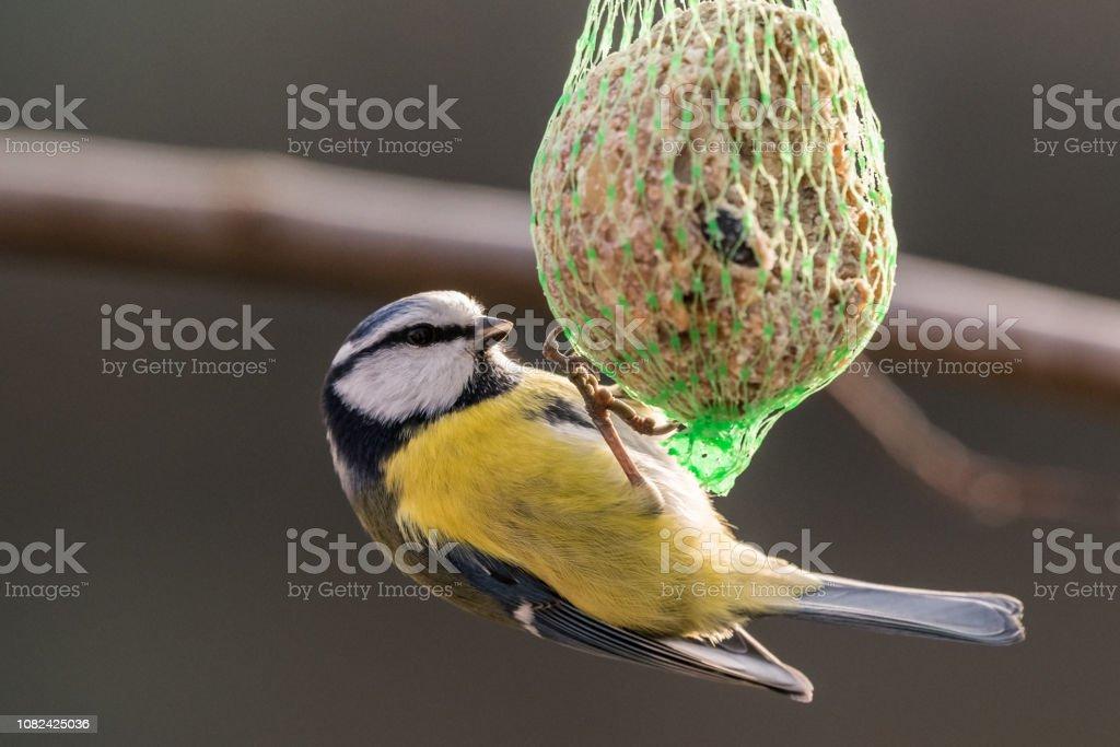 Blaumeise bei Birdhaus im winter – Foto