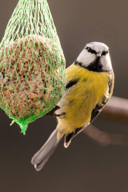 blaumeise bei birdhaus im winter - meisenknödel stock-fotos und bilder