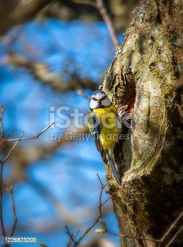 istock Blue Tit at tree portal 1226823203