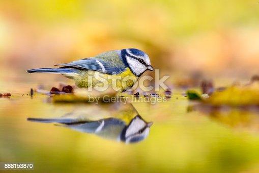 istock Blue tit autumn background 888153870