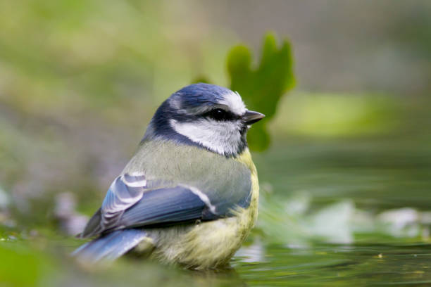 Blue Tit (Cyanistes caeruleus) Bathing stock photo