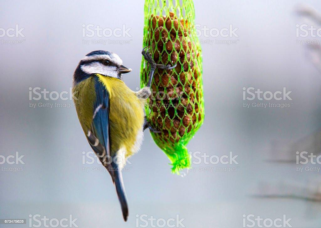 Blue Meise bird – Foto