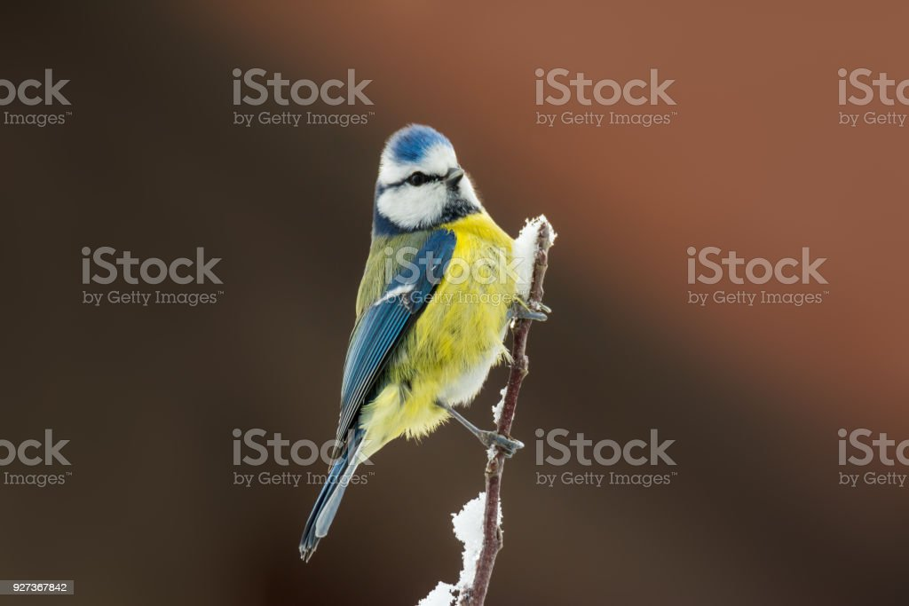 Blue tit bird sitting on a snow covered tree - Royalty-free Animal Stock Photo