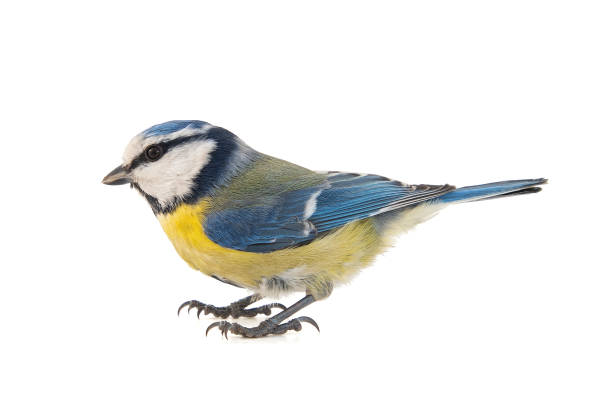 Blue tit, Cyanistes caeruleus, isolated on white background. stock photo