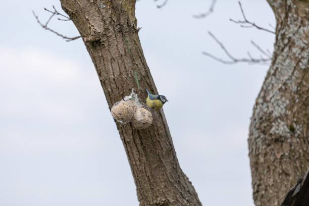 blue tit, cyanistes caeruleus, parus caeruleus - meisenknödel stock-fotos und bilder