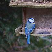Blue tit, Cyanistes caeruleus, pecking seeds from feeder of old wooden bird house in bird feeder