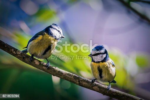 istock Blue Tit - Cyanistes caeruleus 621823294